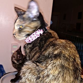 Domestic Shorthair Cat for adoption in Princeton, New Jersey - Andrea