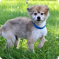 Adopt A Pet :: Mustang - Waldorf, MD