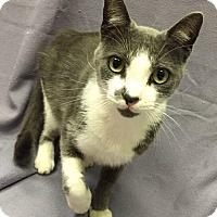 Domestic Shorthair Cat for adoption in Lexington, North Carolina - Smokey