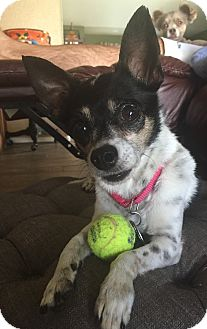 Chihuahua Mix Dog for adoption in Scottsdale, Arizona - Tess