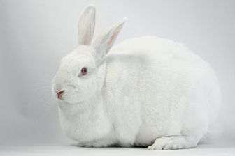 Netherland Dwarf Mix for adoption in Los Angeles, California - Beautiful