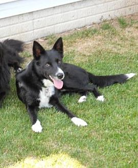 Border Collie Dog for adoption in Evansville, Indiana - Corey
