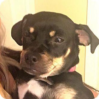 Terrier (Unknown Type, Medium)/Dachshund Mix Dog for adoption in Oakley, California - Zara