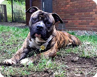 Boxer/Terrier (Unknown Type, Medium) Mix Dog for adoption in Cleveland, Ohio - Klondike