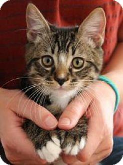 Domestic Shorthair Kitten for adoption in San Carlos, California - Tiki