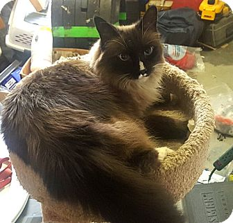 Himalayan Cat for adoption in Palmdale, California - Cally