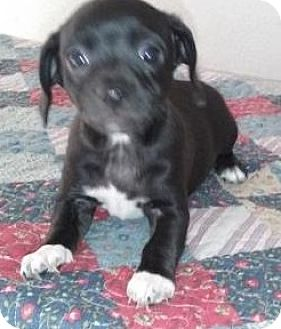 Jack Russell Terrier/Beagle Mix Puppy for adoption in Gilbert, Arizona - Myla