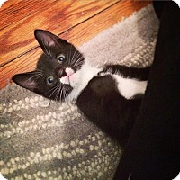 Domestic Shorthair Kitten for adoption in Brooklyn, New York - Mal