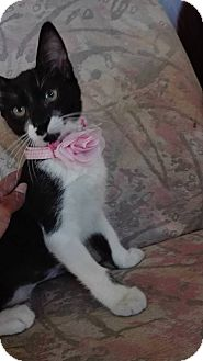 Domestic Shorthair Kitten for adoption in San Ysidro, California - Amy
