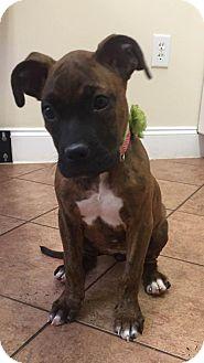 Boxer Mix Puppy for adoption in Alpharetta, Georgia - Lois