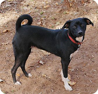 Terrier (Unknown Type, Medium)/Miniature Pinscher Mix Puppy for adoption in Lawrenceville, Georgia - Mickey