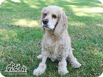 Cocker Spaniel Dog for adoption in Irvine, California - TILLY