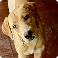 Adopt A Pet :: Cory - San Antonio, TX