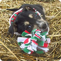 Adopt A Pet :: Coal Christmas Girl - Godley, TX
