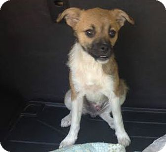 Chihuahua/Terrier (Unknown Type, Medium) Mix Puppy for adoption in Blountstown, Florida - Huck