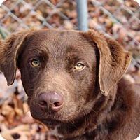 Adopt A Pet :: Opie - Harrisonburg, VA