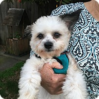 Adopt A Pet :: Valentino - adoption pending - Pleasanton, CA