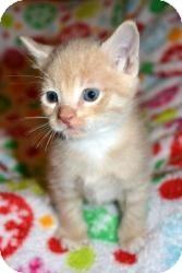 Domestic Shorthair Kitten for adoption in Island Park, New York - Angel & Kiwi