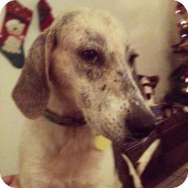 Treeing Walker Coonhound Mix Dog for adoption in Gainesville, Florida - Loretta/Tammy