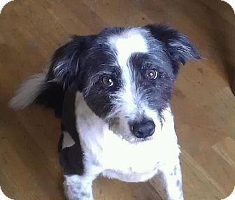 Border Collie/Schnauzer (Miniature) Mix Dog for adoption in Romeoville, Illinois - Baby *Courtesy Post*