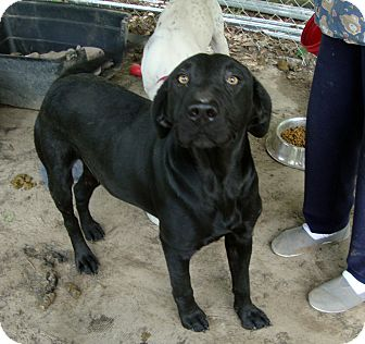Labrador Retriever Mix Dog for adoption in Daleville, Alabama - Darcy