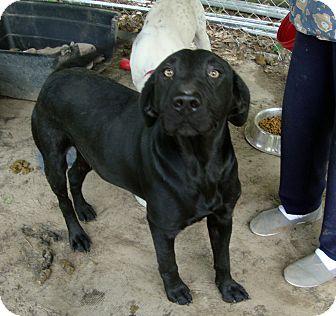 Labrador Retriever Mix Dog for adoption in Daleville, Alabama - Darcy