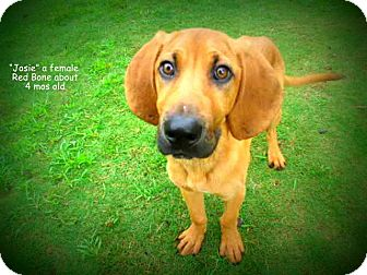 Redbone Coonhound Mix Puppy for adoption in Gadsden, Alabama - Josie