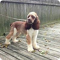 Adopt A Pet :: Hunter - Menomonee Falls, WI