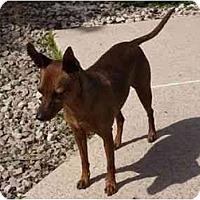 Adopt A Pet :: Omar Sharif - Phoenix, AZ