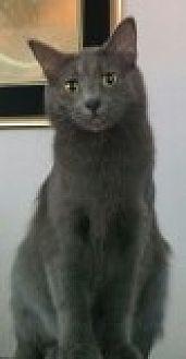 Domestic Longhair Cat for adoption in Livonia, Michigan - Sara