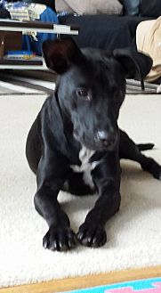 Labrador Retriever Mix Dog for adoption in Midlothian, Virginia - Midnight