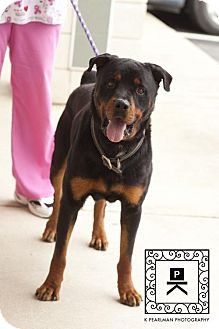 Rottweiler Dog for adoption in Fredericksburg, Virginia - Spotsylvania Shelter #16-3556