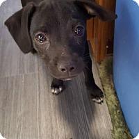 Adopt A Pet :: Leopold - Aurora, CO