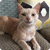 Domestic Shorthair Cat for adoption in Toledo, Ohio - Darwin