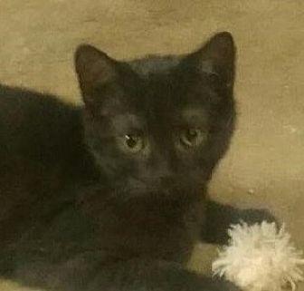 Domestic Shorthair Kitten for adoption in Yorba Linda, California - Malcom