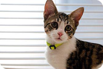Domestic Shorthair Cat for adoption in Huntsville, Alabama - Bo