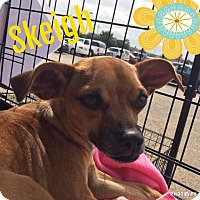 Chihuahua/Pug Mix Dog for adoption in Snyder, Texas - Skeigh