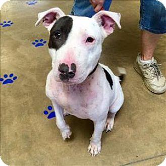 Bull Terrier Mix Dog for adoption in Riverside, California - Sabrina