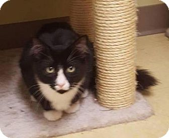 Domestic Longhair Kitten for adoption in Breinigsville, Pennsylvania - Nitro