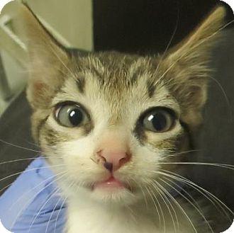 Domestic Shorthair Kitten for adoption in Lincolnton, North Carolina - Martin $20