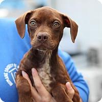 Adopt A Pet :: Hershey - STRAY - Midland, MI