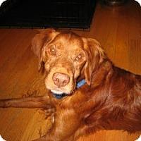 Golden Retriever Mix Dog for adoption in Minnetonka, Minnesota - Bobby