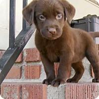 Adopt A Pet :: Calvin Klein - Mesquite, TX