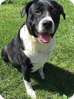 Mastiff/Rottweiler Mix Dog for adoption in PLAINFIELD, Indiana - Leah