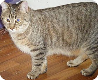Domestic Shorthair Cat for adoption in Kensington, Maryland - Leander