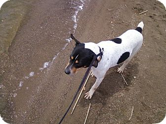 Rat Terrier/Rat Terrier Mix Dog for adoption in Carey, Ohio - RADAR