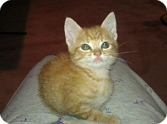 Domestic Shorthair Kitten for adoption in Geneseo, Illinois - Caprice