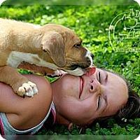 Adopt A Pet :: Blade - Albany, NY