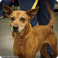 Adopt A Pet :: Foxie - Loudonville, NY