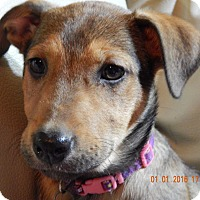 Adopt A Pet :: Princess Leia - Huntsville, AL
